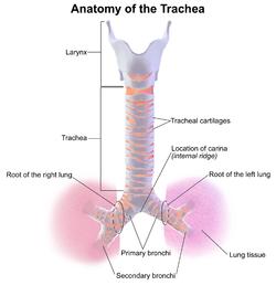 Anatomia ludzkiej tchawicy