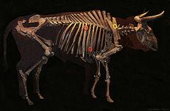 Szkielet tury w Danii.