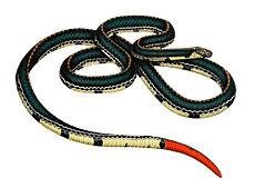Die Farben der Korallenschlangen der Alten Welt können sich deutlich von den Farben der amerikanischen Arten unterscheiden. Dies ist die blaue malaysische Korallenschlange Calliophis bivirgatus