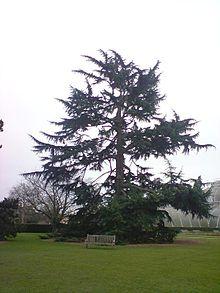 Een ceder van Libanon in Kew Gardens, UK