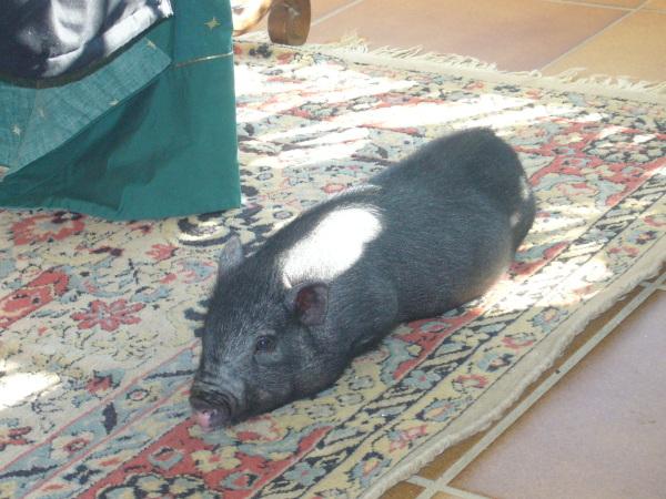 Hausschwein, das sich auf einen Teppich legt