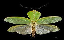El género Choeradodis tiene tórax expandido lateralmente: camuflaje por mimetismo de hojas.
