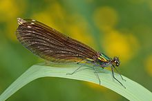 La bella señorita, Calopteryx virgo