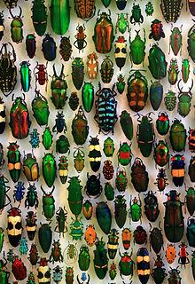 Coleoptera in het Staatliches Museum für Naturkunde Karlsruhe, Duitsland