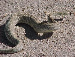 Een Mojave ratelslang (Crotalus scutulatus) die zich zijwaarts buigt