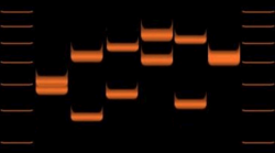 Duplikacja genu powoduje różną długość w pojedynczym locus (allelu). Pokazuje zmienność w jednym genie u sześciu osobników.