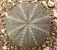 Diese beiden sukkulenten Pflanzengattungen, Euphorbia und Astrophytum, sind nur entfernt miteinander verwandt. Sie sind unabhängig voneinander zu einer sehr ähnlichen Körperform zusammengewachsen