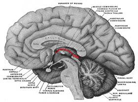 Eine Zeichnung eines Teils eines menschlichen Gehirns