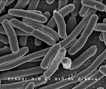 Escherichia coli , une des nombreuses espèces de bactéries présentes dans l'intestin humain