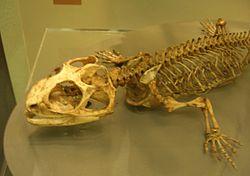 Skelett von Sphenodon