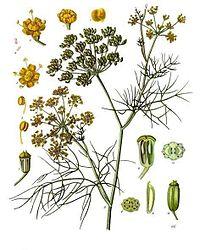 Fenykl, jedna ze tří hlavních bylin používaných při výrobě absintu.
