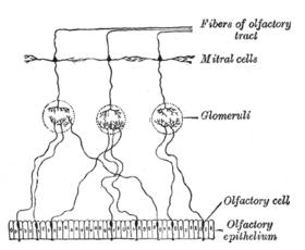 Olfactorisch epitheel en neuronen. De eindhaartjes van de neuronen steken uit in het slijm (hier niet afgebeeld)