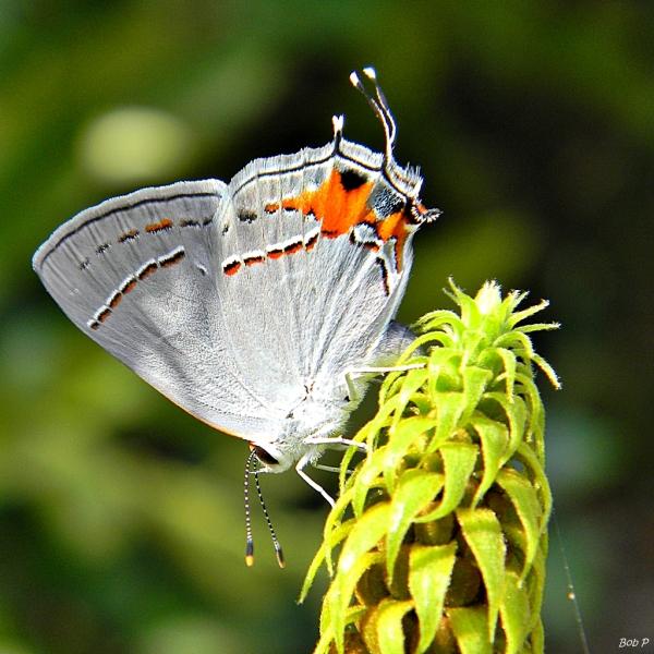 Wiele motyli niebieskich (Lycaenidae), takich jak ta siwa fryzura (Strymon melinus), ma z tyłu fałszywą głowę, trzymaną w spoczynku ku górze.