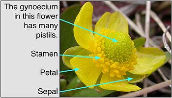 Delen van een Ranunculus (boterbloem) bloem