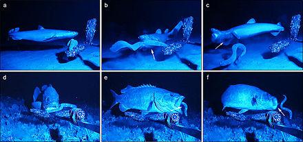 Adaptacja przeciw drapieżnikom w akcji: rekin fokarium Dalatias licha (a-c) i wrakoń Polyprion americanus (d-f) próbują upolować rybę. Drapieżniki zbliżają się do potencjalnej ofiary. Drapieżniki gryzą lub próbują połknąć rybę, ale ta już wcześniej wyrzuca do pysków drapieżników strumienie śluzu (strzałki). Krztusząc się, drapieżniki uwalniają orłosępy i kneblują je, próbując usunąć śluz z ust i komór skrzelowych.