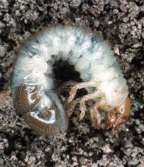 Een voorbeeld van een scarabee-vormige larve