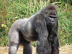 Siła ramion jest główną obroną goryla przed drapieżnikami.