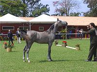 Ein junges arabisches Pferd