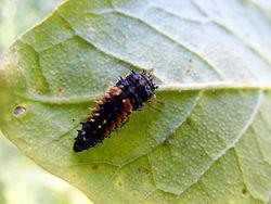 De larven van de lieveheersbeestjes lijken op vreemde volwassen insecten