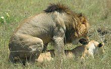 Kopulierende Lions in der Maasai Mara, Kenia