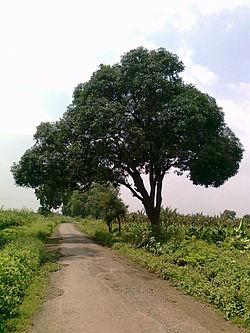 Een mangoboom
