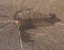 Este exemplar de Marrella mostra como os fósseis são claros e detalhados a partir da lagerstätte de xisto de Burgess.