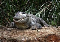 Straßenräuber-Krokodil