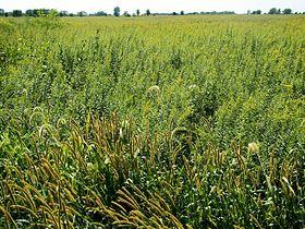 Tallgrass prairie, Midewin