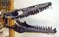 Der beeindruckende Schädel eines Mosasauriers, eines riesigen Meeresreptils aus der Kreidezeit.