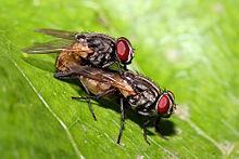 Het mannetje monteert het vrouwtje van achteren