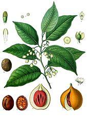 Muškátový oříšek pochází z indonéských ostrovů Banda. Je tak cenný, že evropské koloniální mocnosti přilákal do Indonésie.