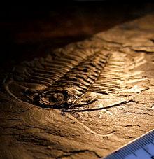 Uma trilobita fossilizada. Este espécime de Olenoides serratus, do xisto Burgess, preserva 'partes moles' - as antenas e as pernas.