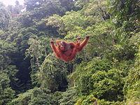 Orang-oetan klimmen