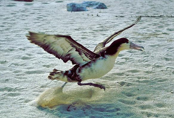 Albatrosse schlagen beim Fliegen nur dann mit den Flügeln, wenn sie abheben.