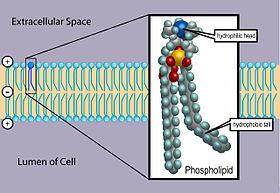 Die Phospholipid-Doppelschicht