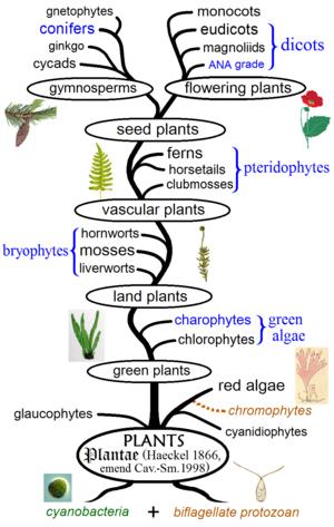 Phylogenetischer Pflanzenbaum, der die wichtigsten Clades und traditionellen Gruppen zeigt. Monophyletische Gruppen sind schwarz und paraphyletische blau dargestellt. Diagramm nach dem symbiogenetischen Ursprung der Pflanzenzellen und der Phylogenie von Algen, Bryophyten, Gefäßpflanzen und Blütenpflanzen.