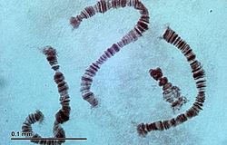 Připravené a obarvené chromozomy larev neštípavých mušek