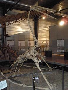 Restauriertes Skelett in Vierfüßler-Haltung