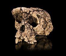 """Un calco del cranio di """"Tournai"""", Sahelanthropus tchadensis, un membro di una specie di ominide estinto vissuto circa 7 milioni di anni fa"""