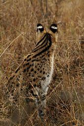 Een serval van achteren, met ocelli op de achterkant van zijn oren. De jongen kunnen hun moeder zien als ze zich beweegt in het lange gras