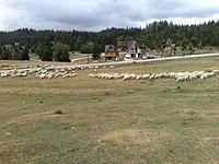 Mandria di pecore sul monte Vlašić