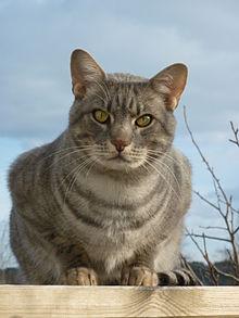 Zilveren Ocicat