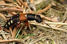 Rove kevers hebben korte voorvleugels (de rode delen op de rug van deze kever) die hun achterlijf niet bedekken.