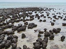Moderne stromatolieten in Hamelin Pool Marine Nature Reserve, West-Australië.