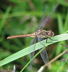Libellen zijn natuurlijke predatoren van muggen.