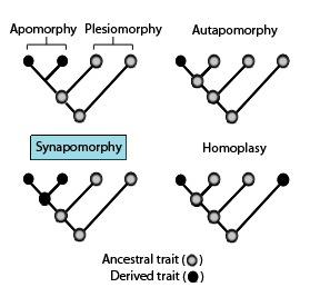 Ein Kladogramm, das die Terminologie zeigt, die zur Beschreibung verschiedener Muster von angestammten und abgeleiteten Charakterzuständen verwendet wird.