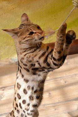 Savannah mačka, stara eno leto