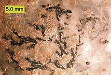 Thallograptus sphaericola , een dendroïde graptoliet, vastgehecht aan de cystoïde Echinosphaerites aurantium; Ordovicium van Noordoost-Estland.