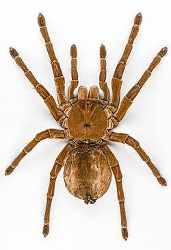 Goliath-Vogelfresser (Theraphosa blondi), die größte Spinne, neben einem Herrscher.