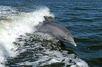 Großer Tümmler , die bekannteste Delphinart.